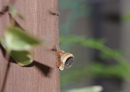 蛹の抜け殻
