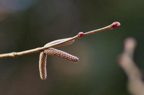 ツノハシバミ