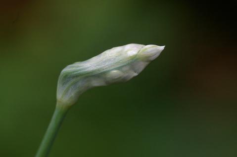 膜にくるまれた、ニラの花序