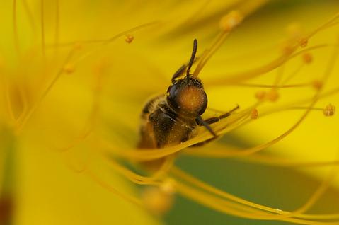 雄蕊の中の蜂