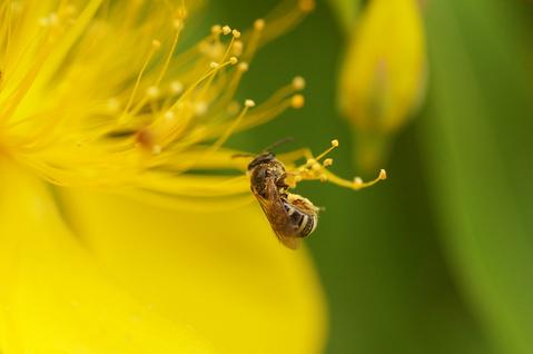 あ、蜂が来た!