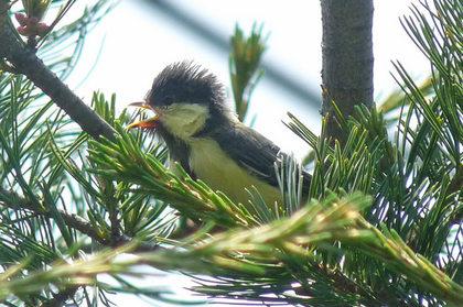 松の木に止まって鳴く子供