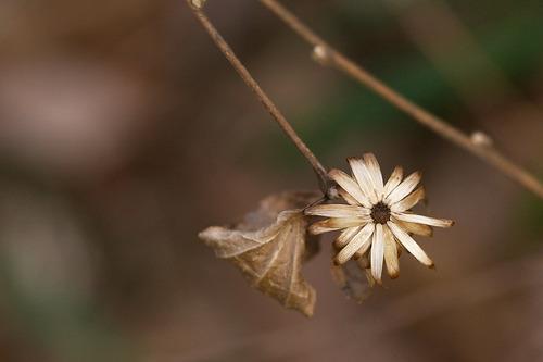 コウヤボウキの枯れた萼