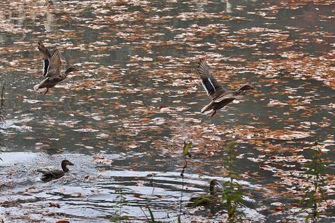 西田沼のマガモの飛翔