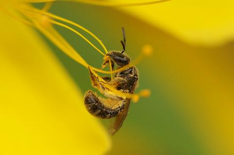 雄蕊に掴まる蜂