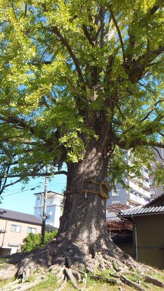 津島神社御旅所の銀杏 2