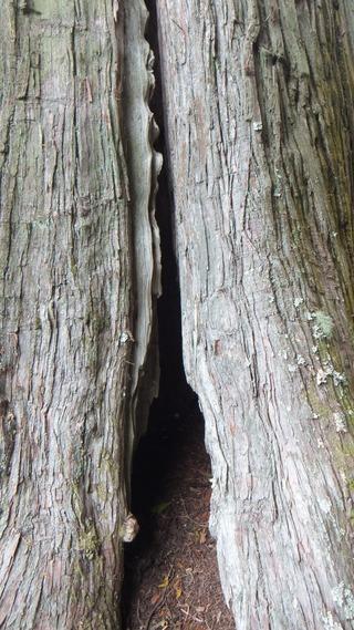 有洞のサワラ 2