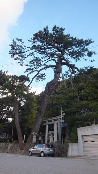 南志見住吉神社の松9