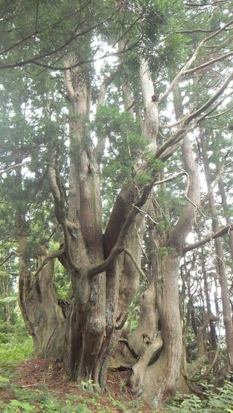 花脊の天然伏条台杉 10