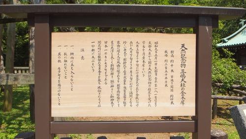 三嶋大社の金木犀 1