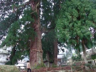 栢野の大杉 2