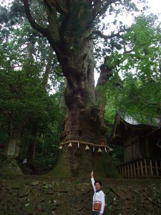 大杵社の大杉 15