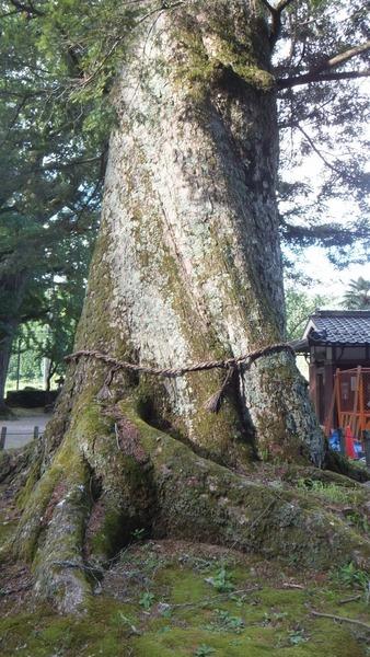 追手神社の千年モミ3