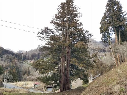 臥雲の三本杉 3