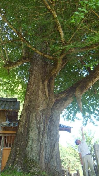 福知山市 大年神社のイチョウ