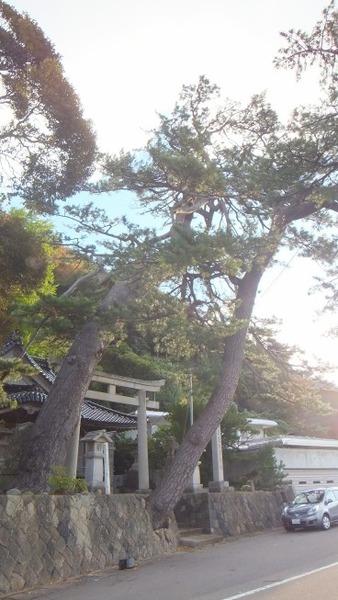 南志見住吉神社の松10