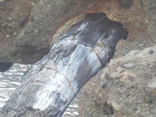 島根県波根西の珪化木 7