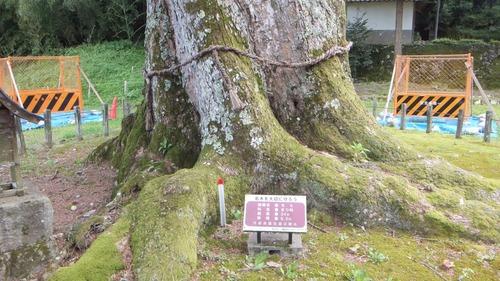 追手神社の千年モミ1