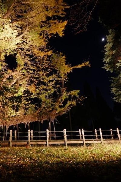 菩提寺のイチョウ 黄葉バージョン 14