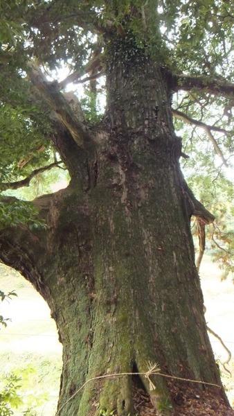 堂庭のスギ(千年杉) 5