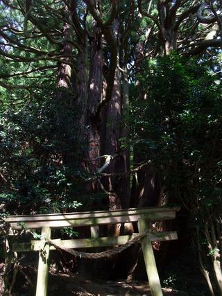 高井の千本杉 11