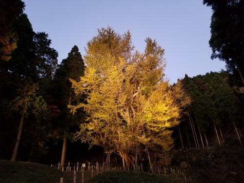 菩提寺のイチョウ 黄葉バージョン 7