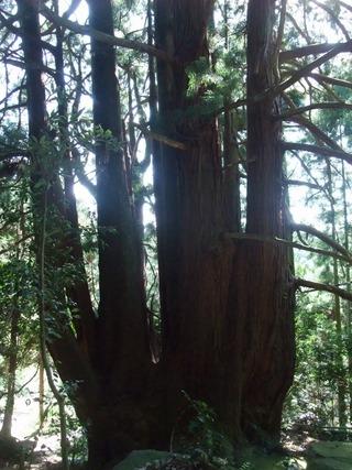高井の千本杉 9