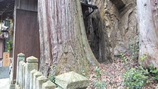 巌石神社の夫婦ヒノキ 6