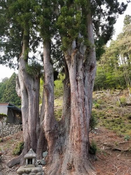 吉沢の田高杉2