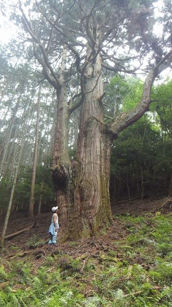 胎金寺山口奥の天狗杉5