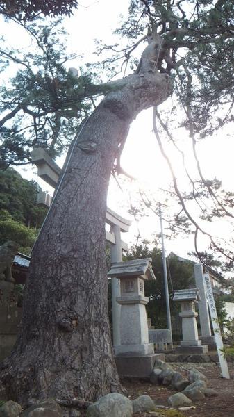 南志見住吉神社の松5