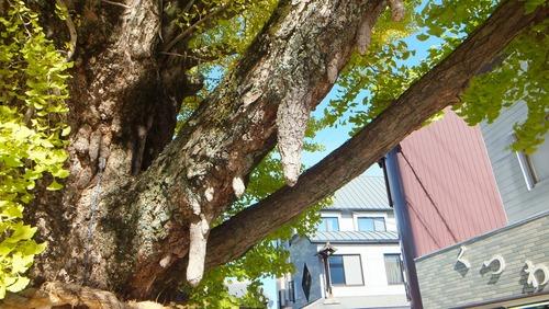 津島神社の大イチョウと奥の銀杏 5