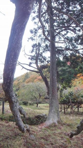 切山の大スギ 7