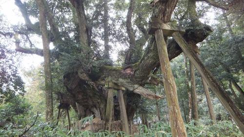 志多備神社日本一のスダジイ 9