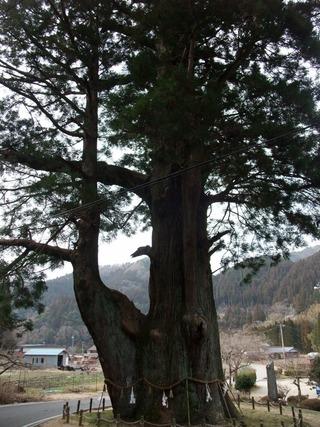 月瀬の大杉 5