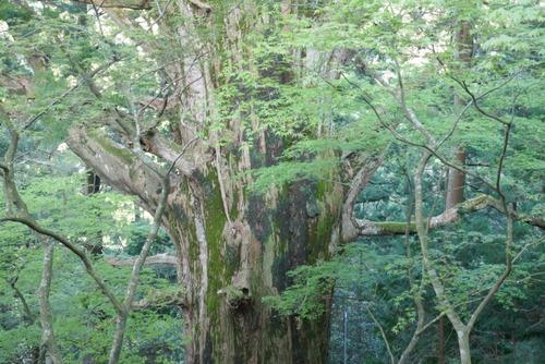 春埜杉 12