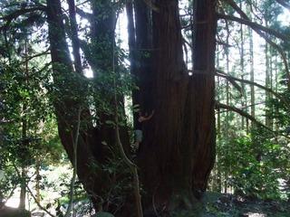 高井の千本杉 7