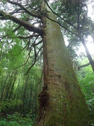 大杵社の大杉 9
