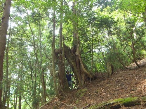 花脊の天然伏条台杉 13
