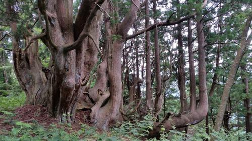 花脊の天然伏条台杉 2