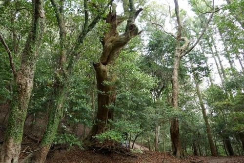 諭鶴羽神社の親子杉とアカガシ群落23