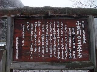 清内路 小黒川のミズナラ 4