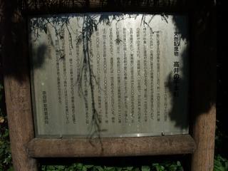高井の千本杉 12