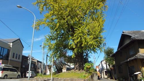 津島神社御旅所の銀杏 7