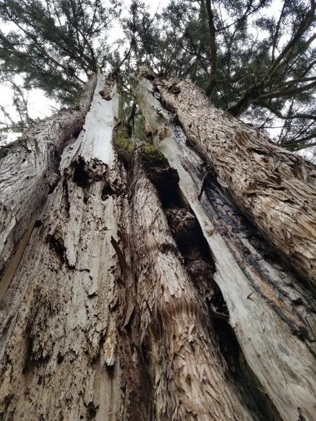 臥雲の三本杉 1