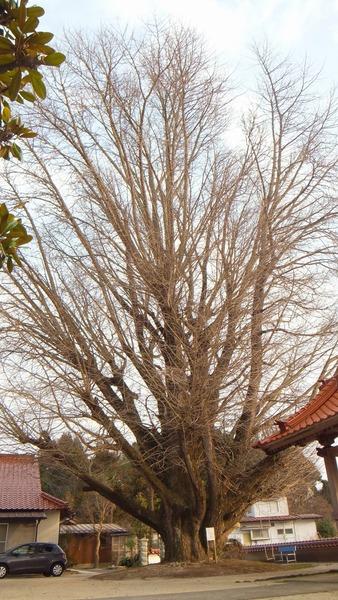浄善寺の銀杏 2