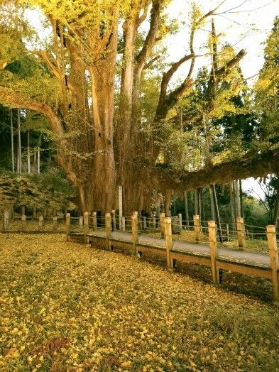 菩提寺のイチョウ 黄葉バージョン 4