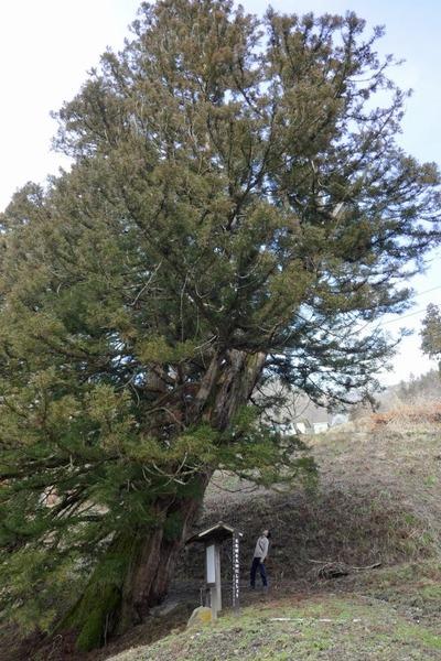 臥雲の三本杉 15