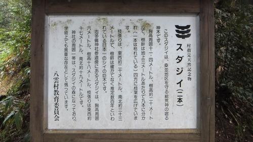 志多備神社日本一のスダジイ 1
