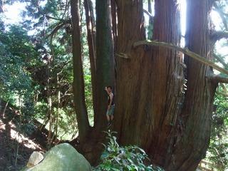 高井の千本杉 8